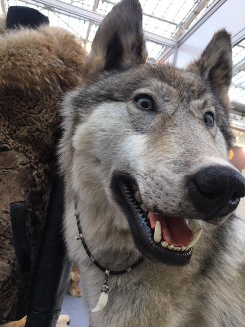 Чучело якутского волка Только настоящему лидеру, руководителю, ценителю волков подарок парню мужчине лидеру руководителю охотнику мужу любимому брату отцу  на Новый год день рождения 23 февраля для дома офиса для дачи загородного дома