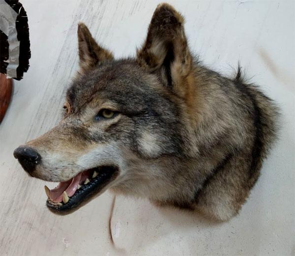 Чучело головы якутского волка Только настоящему лидеру, руководителю, ценителю волков подарок парню мужчине лидеру руководителю охотнику мужу любимому брату отцу  на Новый год день рождения 23 февраля для дома офиса для дачи загородного дома