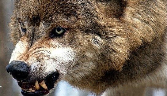 Фотография волка- клыки