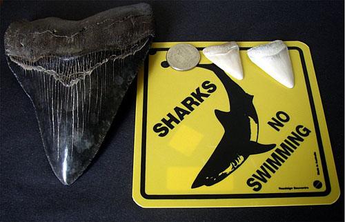 Зубы крупных акул