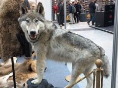Чучело якутского волка