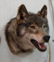 Чучело головы якутского волка