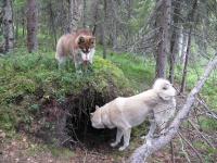 весенняя охота в тайге, в Сибире на берлогу медведя VIP-охота!