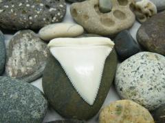 Зуб белой акулы длиной 5 см ГИГАНТСКИЙ РЕДКИЙ